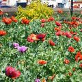 Poppies a blackpool