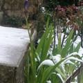 L'iris dans la neige