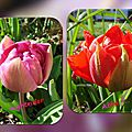 balanicole_2016_05_avril tulipes_07_abba nightrider