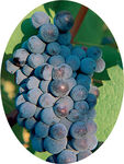 mourvedre_provence