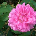 Rose froufroutante carminée (nom inconnu)
