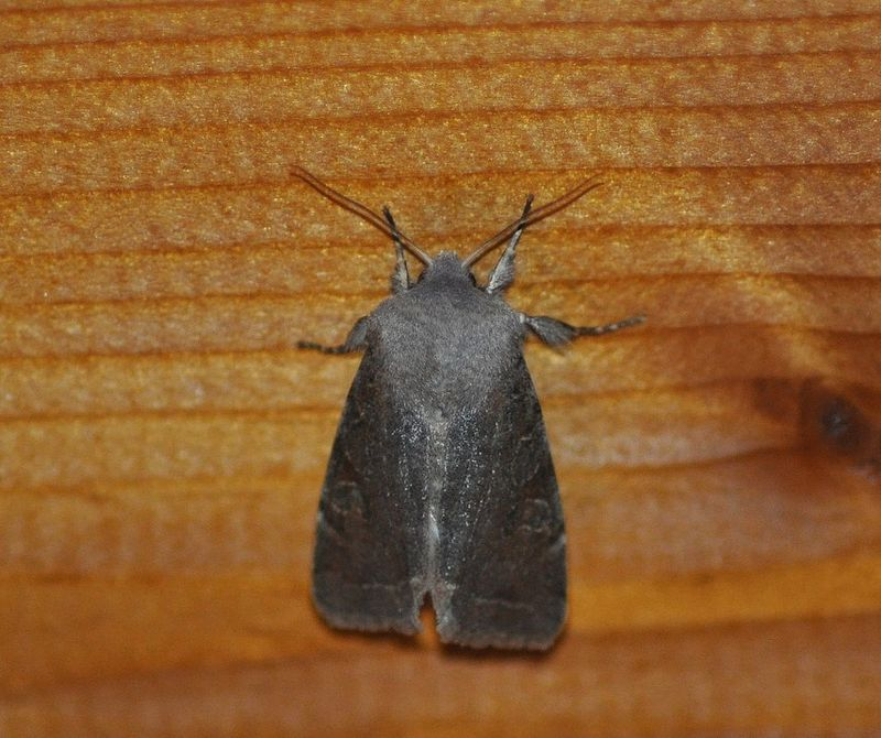 [Orthosia incerta ( Orthosie variable, Inconstante, Fragile)