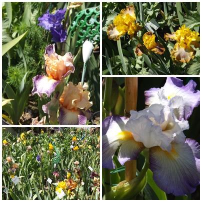 Iris du B 2 (20)