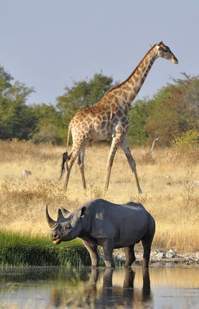Rhinocéros noir et girafe de l'Angola, parc d'Etosha, Namibie