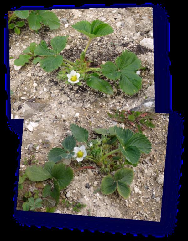 fraisiers genereuse des combrailles et mariguette en fleur