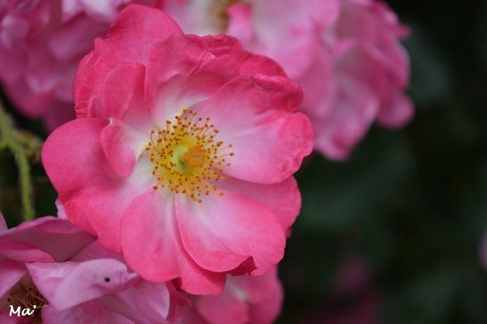 170603_eurre_5_rose