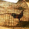 Coq dans sa cage
