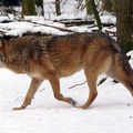 loup_d_europe[1]