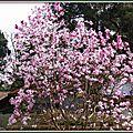 Magnolia étoilé rose 190315