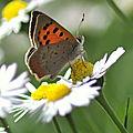Lycaena phlaeas cuivré commun, bronzé papillon