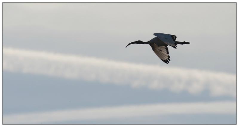 MS ibis vol 130914