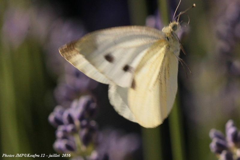 Photos JMP©Koufra 12 - Papillons - 04 juillet 2016 - 00056 - 001b