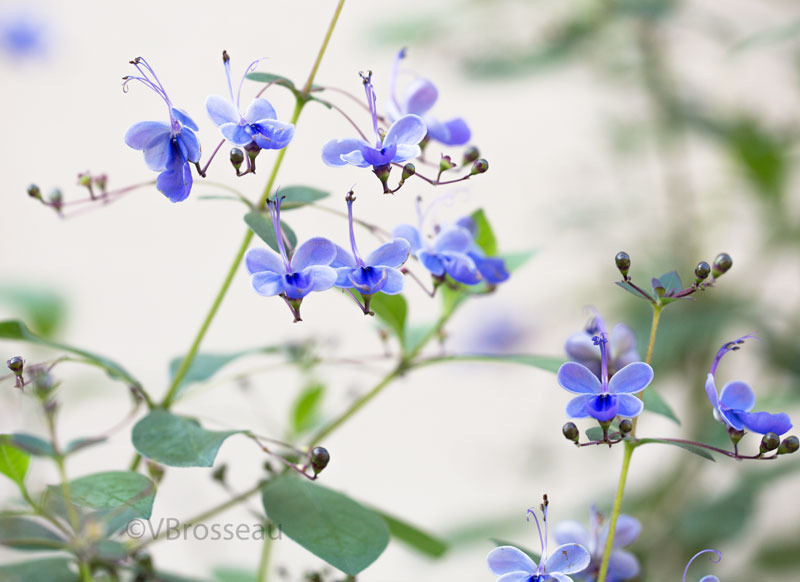 clerodendron01