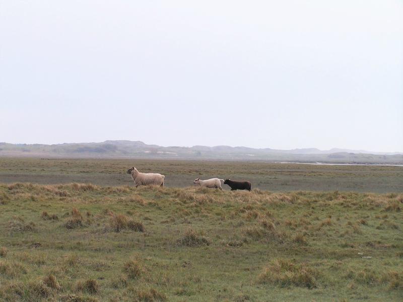 Stéphanie Maubet - éleveuse d'agneaux de prés-salés (9)