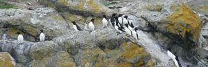 20110503174142-20110503174124-petits-pingouins-crdits-tourisme-chaudire-appalaches-5
