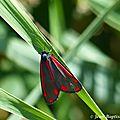 Ecaille du séneçon ou goutte de sang (tyria jacobaeae)