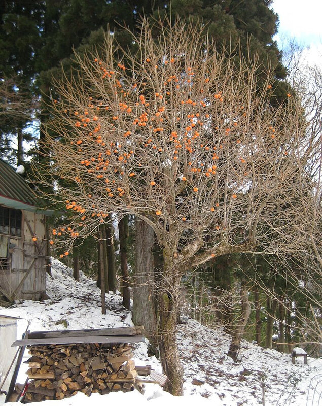 Persimmon_tree_in_winter_(Nagano_prefecture,_Japan)