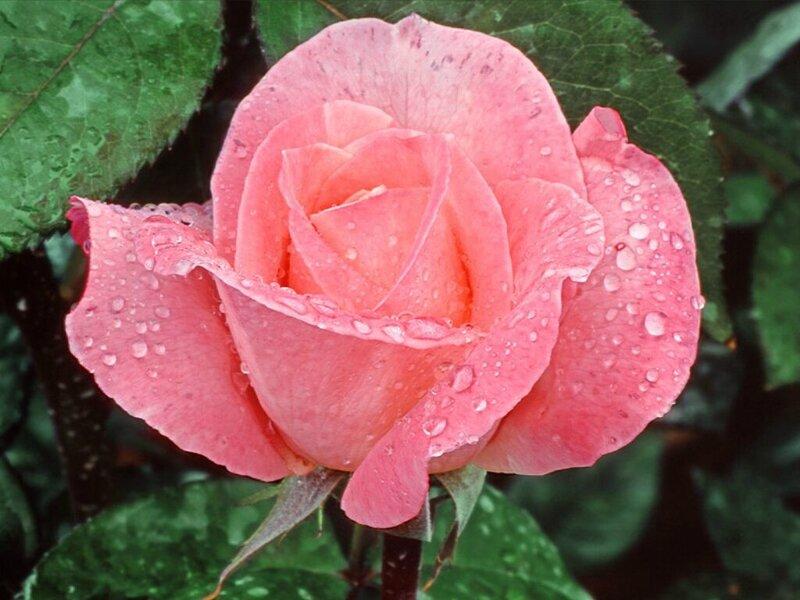 rose024