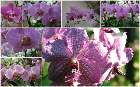 orchid_e_rose