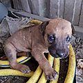 chienne sur Jarry avec 4 chiots 1 disparu 4
