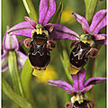 Ophrys bécasse : ophrys scolopax