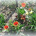 Tulipes et pensées 2013