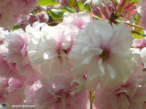 Cerisier_fleurs_doubles