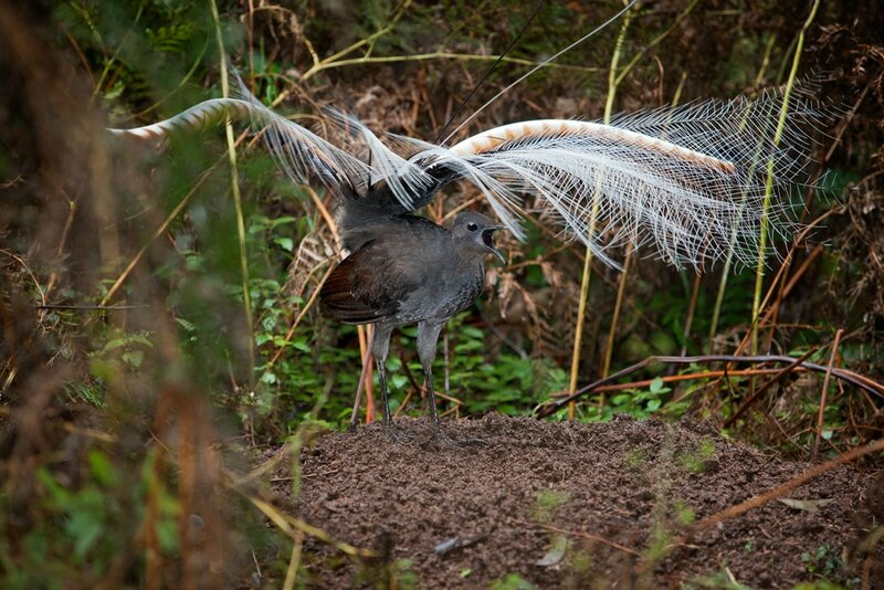 Superb_Lyrebird_mound_dance