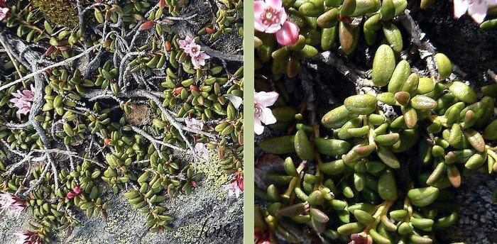 rameaux diffus feuilles coriaces persistantes