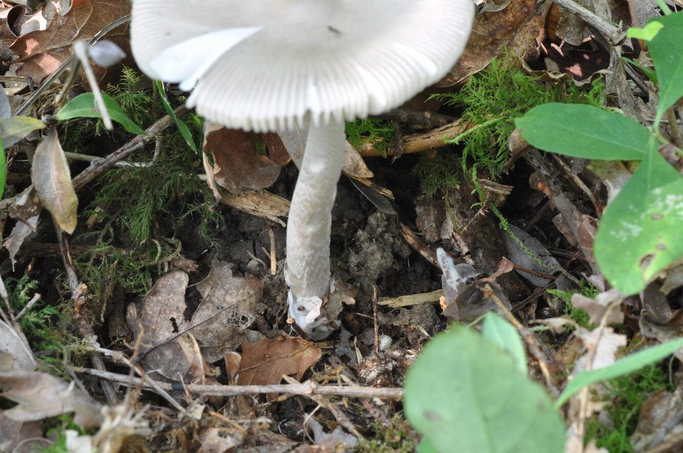 Amanita vaginata (2)