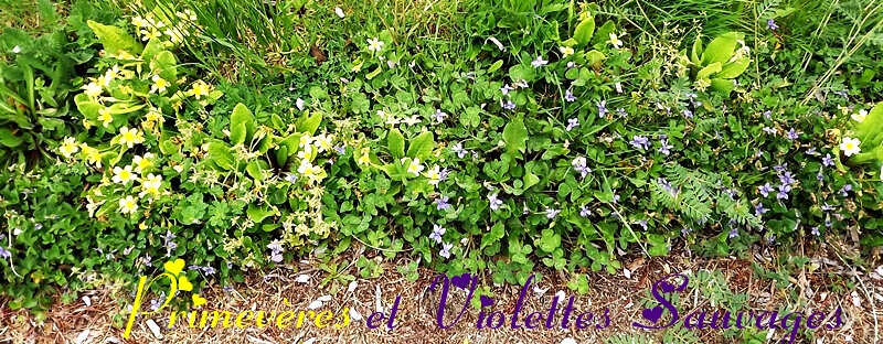 primeveres et violettes sauvages2