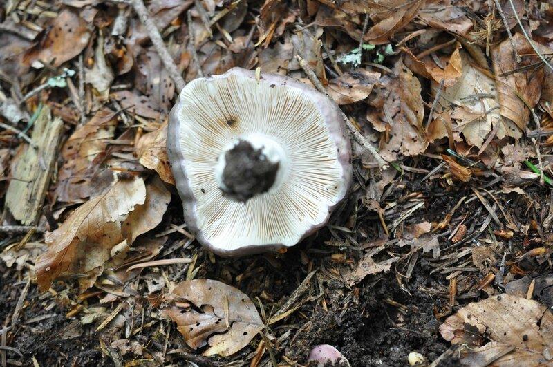 Russula cyanoxantha (4)