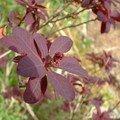 cotinus coggygria - rhus cotinus - bouton