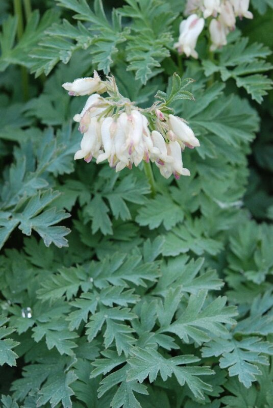 Dicentra formosa 'Langtrees'