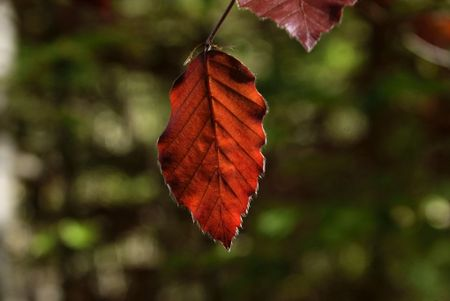 feuille_rouge