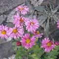 2008 10 25 Chrysanthème d'automne