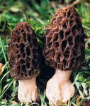 Morchella_conica