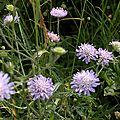 Knautie des prés (Knautia pratensis)