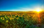 Sunflowers_Field