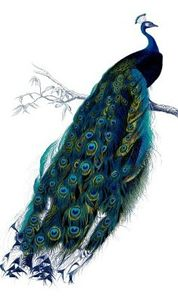 peacock vintage image--graphicsfairy15 - Copie - Copie