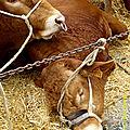 Les vaches des paysans marchois sont petites ou grasses, marchoises ou limousines