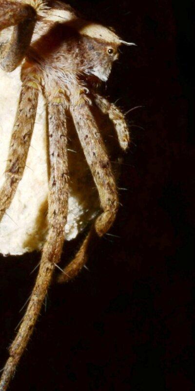 Pisaura mirabilis - Urzy - 9 juin 2014 - blog2
