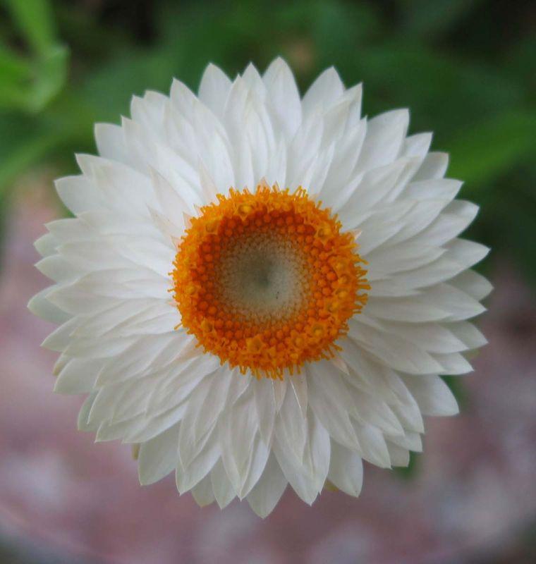 Anaphalis margaritaceae ou immortelle perl_e