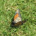 Couple de papillons amoureux