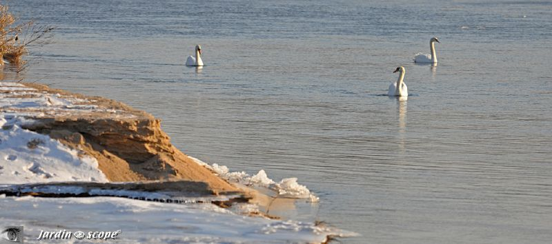 Loire-glace-cygnes