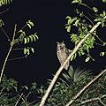 Bubo virginianus