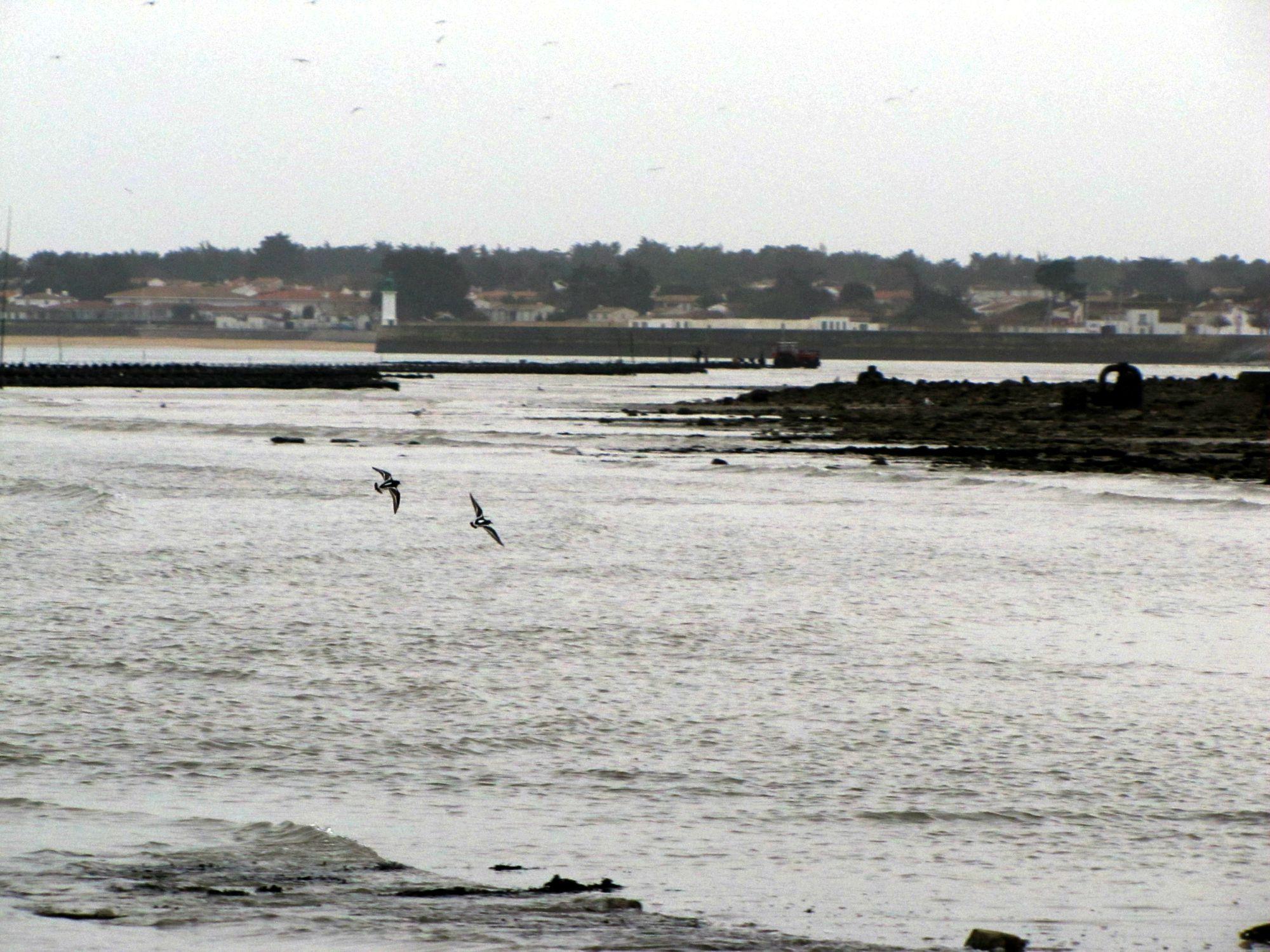Oiseaux ile de re foto Mo2 (40)-h1500