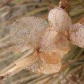 Les hortensias en hiver revêtent leus habits de dentelle (vue 1) Février 2008