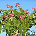 L'arbre à soie