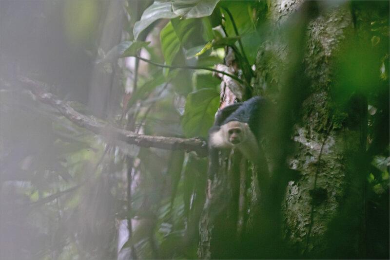 J7 CR Esquinas sentier matin 101218 ym 14 singe capucin végétation